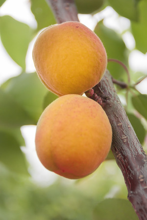 apricot kernel: Apricots ripen on the tree. An apricot is a fruit or the tree that bears the fruit Stock Photo