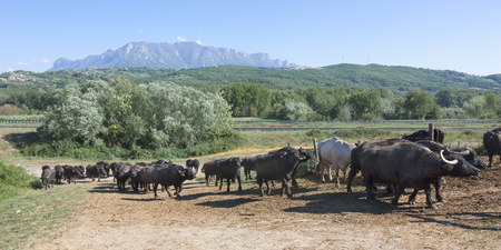 Buffalo grazing in a field. Campania, Italy, Europe to understand a conception of agriculture and industrialization