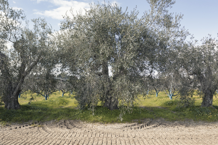 Secular olive trees in the Basilicata region in southern Italy to understand a concept of agriculture and business