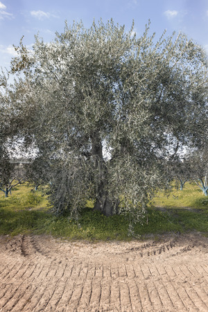 Secular olive tree in the Basilicata region in southern Italy to understand a concept of agriculture and business