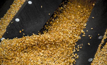 monoculture: corn
