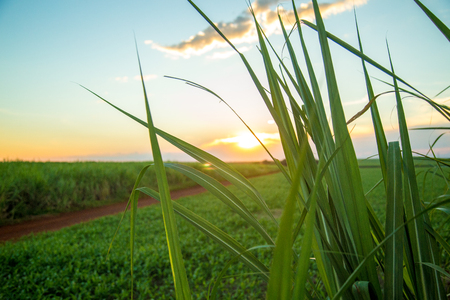 suikerriet zonsondergang Stockfoto