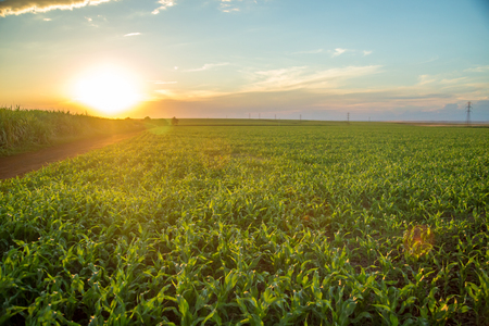 sorghum sunset Stock Photo