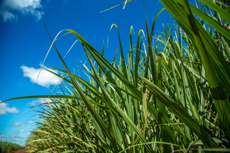 Suikerriet plantage