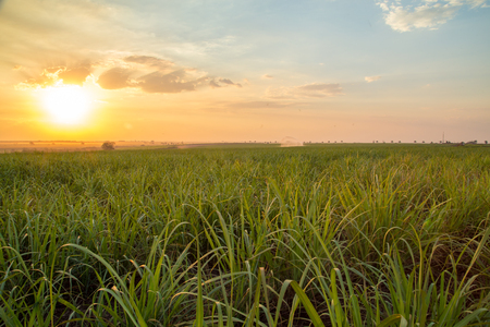 sugar cane sunset