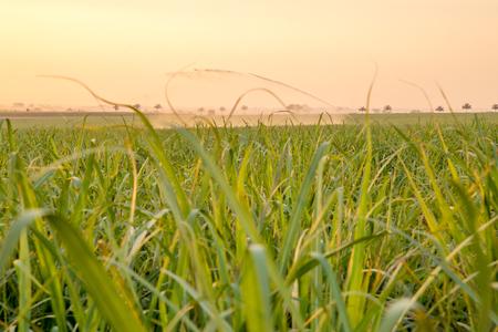 sugar cane sunset