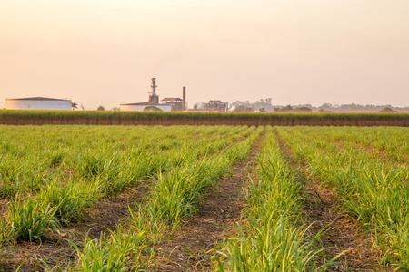 biomasa: puesta de sol de caña de azúcar Foto de archivo