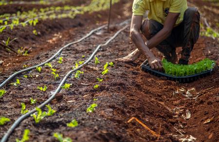 cultive lettuce