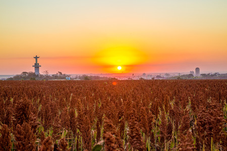 sorgo: sorghum field sunset background sertaozinho Foto de archivo