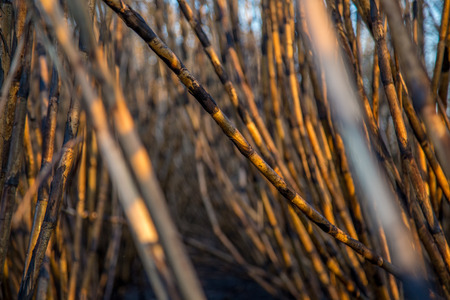 sugar cane plantation burned