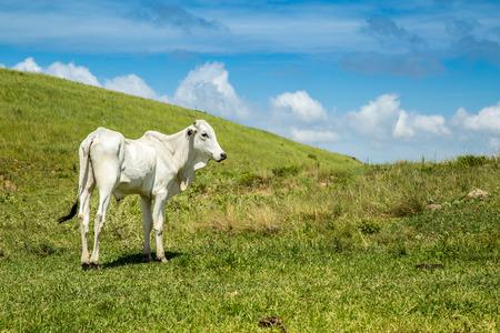 cattle farm montain pecuaria brazil 写真素材