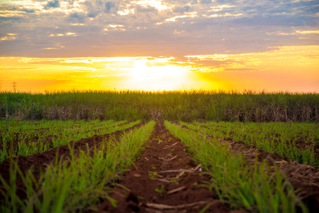 Sugar cane sunset plantation beautiful