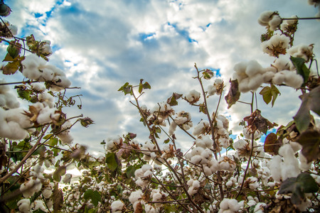 Cotton field plantation texture background Stock Photo