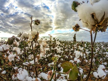 Cotton field plantation texture background Stock Photo