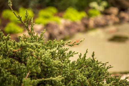 dutch tuia flower plant foliage 스톡 콘텐츠