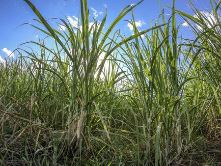 Sugar cane plantation sunset Foto de archivo