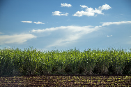 Sugar cane plantation sunset Stock Photo