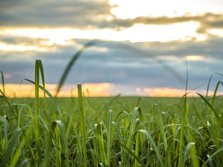 Sugar cane plantation sunset view