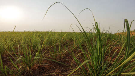 Sugar cane plantation sunset Фото со стока