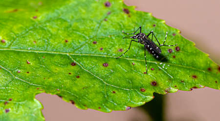 Aedes aegypti mosquito mosquito with white spots and green leaf Фото со стока