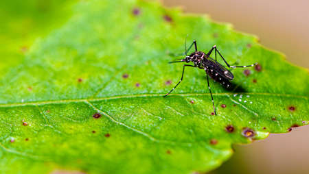 Aedes aegypti mosquito mosquito with white spots and green leaf Stock Photo
