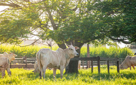 beef cow in the field and green pasture