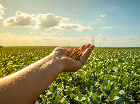 hand holding soybeans with platation and sky on the horizon and details in macro Фото со стока
