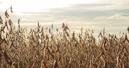 soybean dry plantation with sky on the horizon sunset view Фото со стока