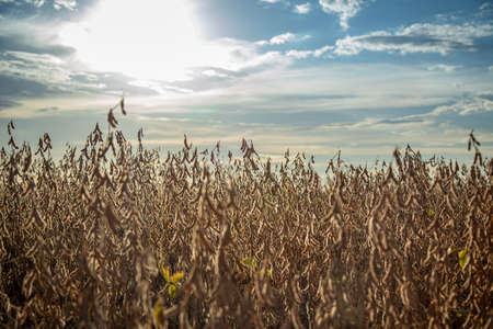 soybean dry plantation with sky on the horizon sunset view Фото со стока