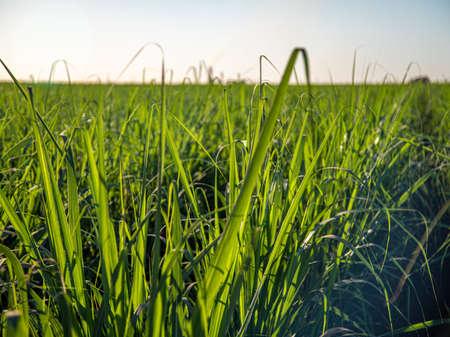 sugar cane plantation farm Фото со стока