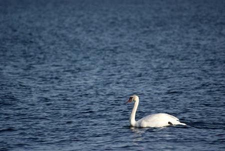 Swan swimming on deep blue sea Stock Photo - 12556037