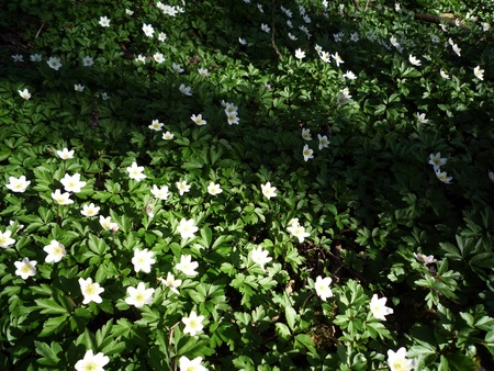 picknic: White anemones on forrest floor Stock Photo