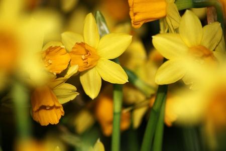 Eater lilies tete-a-tete