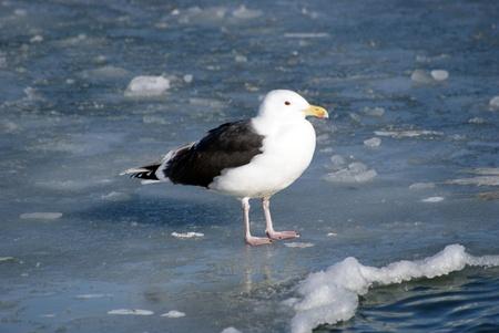 Seagull standing on ice floe Stock Photo