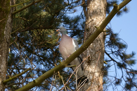 Wood pigeon sitting on a branch photo