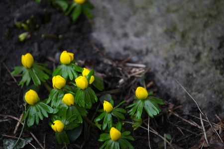 harbinger: Nice yellow eranthis in early spring