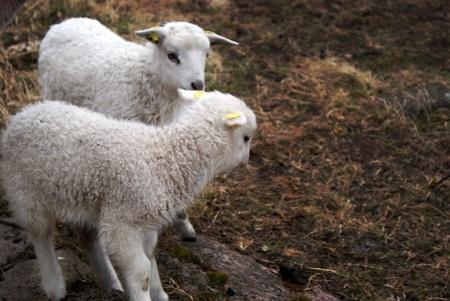 pasen schaap: Twee schattige pasgeboren pasen lam