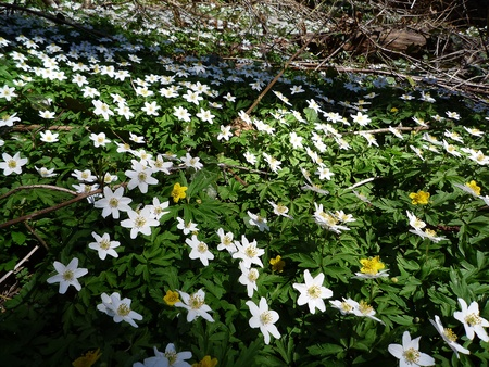 picknic: Forest floor with delicate anemones