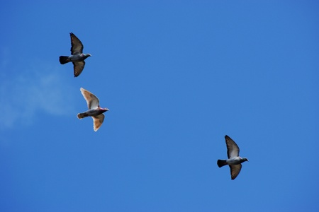 Pigeons against blue sky Stock Photo - 13522302