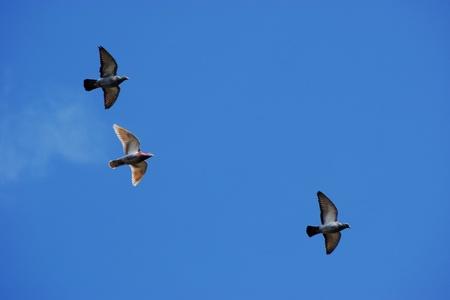 Pigeons against blue sky
