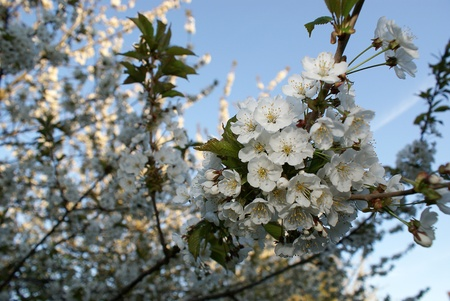 A cherry tree blooming Stock Photo