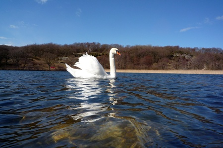 countrysides: Proud floating swan Stock Photo