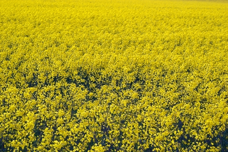 countrysides: Rapeseed in blossom Stock Photo