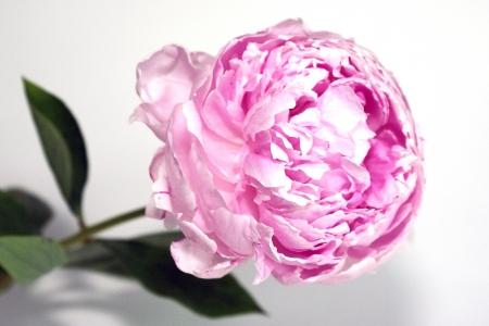 Pink peony rose photo