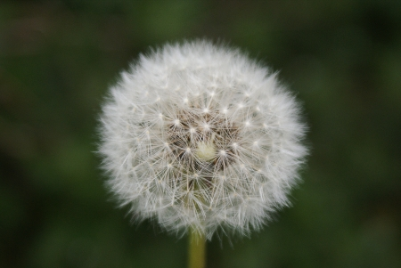 Dandelion seed - a white ball  photo