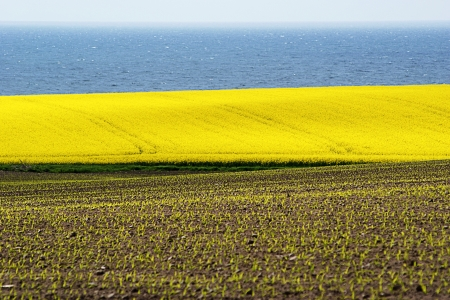 countrysides: Very yellow rapeseed field against blue ocean Stock Photo