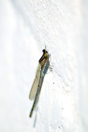 A metallic looking dragonfly sits on white wall Stock Photo