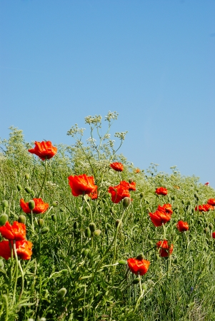 countrysides: Wild poppies, red and attractive