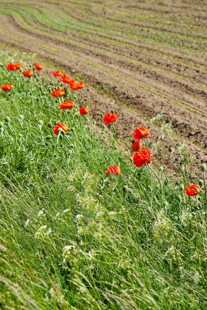 countrysides: Poppies, delicate red