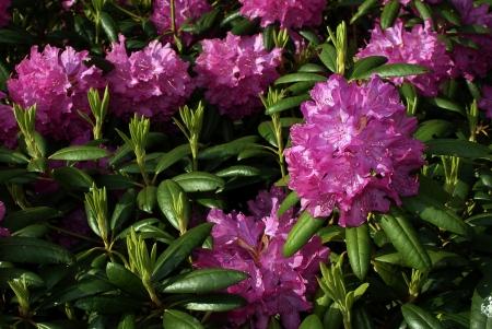 Garden rhododendron  Pretty, purple and pink
